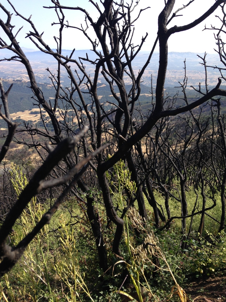 New growth on a mountain after a fire. We see charred trees and green grass.